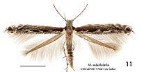 Micrurapteryx salicifoliella httpsuploadwikimediaorgwikipediacommonsthu