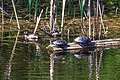 Mid morning in the Six Mile (Pat) Lake area…Western Painted Turtles & Blue Winged Teal (9080008778).jpg