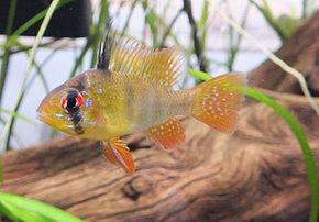 Description de l'image Mikrogeophagus ramirezi 2.jpg.