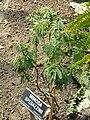 Mimosa spegazzinii - Villa Taranto (Verbania) - DSC03793.JPG