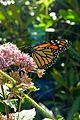 Monarch&JoePyeWeed 02.jpg