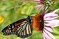 Monarch on purple coneflower (25139512762).jpg