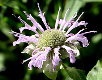 26th Street/Bergamot station - Wild Bergamot (Monarda fistulosa) still grows in clumps around the station area.