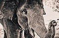 Monochrome macro elephant (Unsplash).jpg