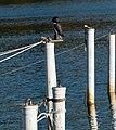 Mooring poles with owl decoy 2.jpg