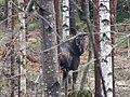 Moose in Kirkkonummi.jpg