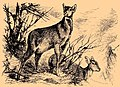 Moschus moschiferus Friese.jpg