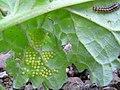 Moth eggs on ragwort 01.jpg