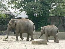 Как выглядит африканский слон. Индийский или азиатский слон: характеристика вида
