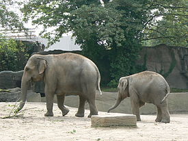 Mother and baby Elephas maximus.JPG