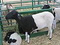 Mouton (15).jpg