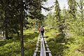 Muddus path spruce forest.jpg