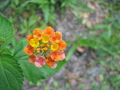 Multi-colored Wild Lantana Camara Flower 4.JPG