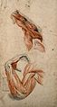 Muscles of the arm and hand; two studies of écorch ́arm Wellcome V0008247.jpg