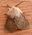 Muslin Moth. Diaphora mendica - Flickr - gailhampshire (3).jpg