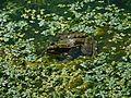Mussidan, lavoir, grenouille.jpg