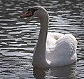 Mute swan (33560955756).jpg