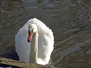 English: Mute swan (Cygnus olor) Adult mute sw...