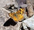 Mylitta Crescent - Phyciodes mylitta thebais. Melitaeinae - Flickr - gailhampshire (2).jpg