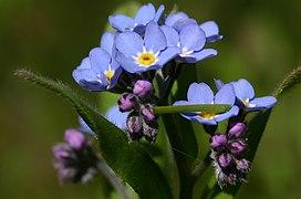 Myosotis-scorpioides-blomst.JPG