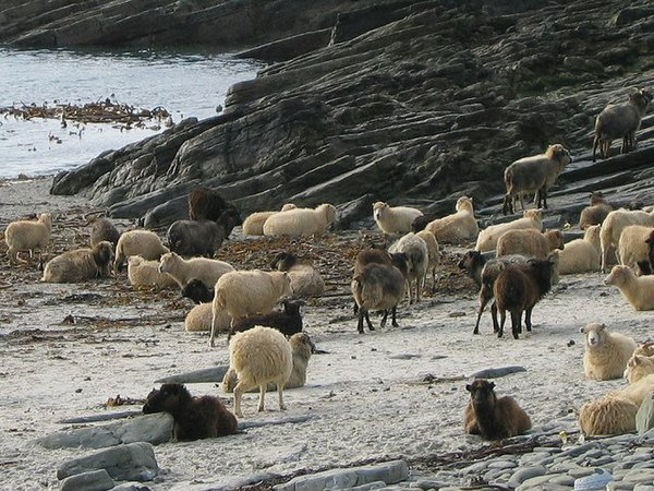 North Ronaldsay sheep on the beach in North Ronaldsay. In the winter, these sheep eat seaweed, which has a higher dC content than grass; samples from these sheep have a dC value of about -13%0, which is much higher than for sheep that feed on grasses. NR sheep.jpg