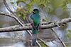 Narina Trogon (Apaloderma narina) (1)