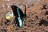 Narrow blue-banded swallowtail (Papilio nireus lyaeus) in flight.jpg