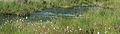 Nationaal Park Drents-Friese Wold. Locatie Fochteloërveen. Waterveenmos (Sphagnum cuspidatum), Veenpluis (Eriophorum angustifolium) 02.JPG