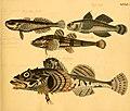 Naturgeschichte in Bildern mit erläuterndem Text (Taf. XXXIV) (6058661289).jpg