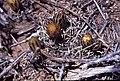 Navajoa peeblesiana fh 053 2 AZ B.jpg