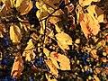 Neoshirakia japonica (leaf s9).jpg