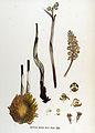Neottia nidus-avis — Flora Batava — Volume v17.jpg