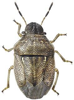 <i>Neottiglossa</i> Genus of true bugs