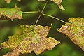 Nerstrand Leaves (29252093320).jpg