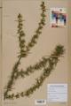 Neuchâtel Herbarium - Larix decidua - NEU000003674.tif