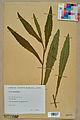 Neuchâtel Herbarium - Picris hieracioides - NEU000018263.jpg