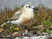 New Zealand Dotterel Waiheke Island2.jpg