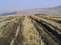 New forestry planting on Merrypath Rig - geograph.org.uk - 400780.jpg