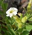 Nicotiana obtusifolia 3.jpg