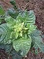 Nicotiana rustica sl15.jpg