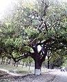 Nigella tree, carmichel college, rangpur.jpg