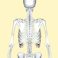 Ninth costal cartilage posterior2.png