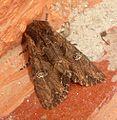 Noctuidae. Xyleninae .Xylenini. Antitypina. Mniotype spinosa - Flickr - gailhampshire.jpg