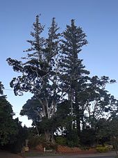 pine trees norfolk island cleveland wikipedia file description wiki commons history