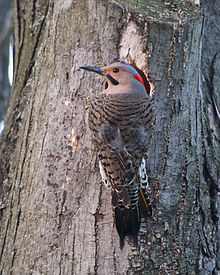 NorthernFlicker-male.jpg