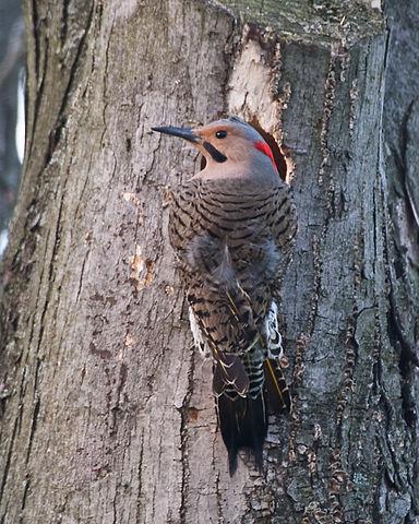Machine Gun Woodpecker 384px-NorthernFlicker-male