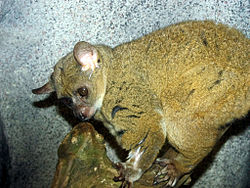 Northern Greater Galago.jpg