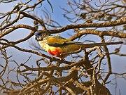Northiella haematogaster -Cocoparra National Park-8