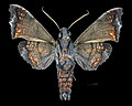 Nyceryx magna MHNT CUT 2010 0 198 Cochancay, La Troncal Cañar Ecuador male ventral.jpg