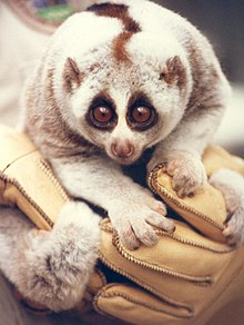 A cat-sized primate with a dark stripe down its back is held in a gloved hand against the chest